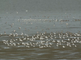Friese waddenkust met vogels